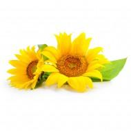 Floarea soarelui Cultura